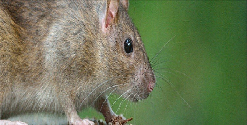 Ratones y Ratas Repeller